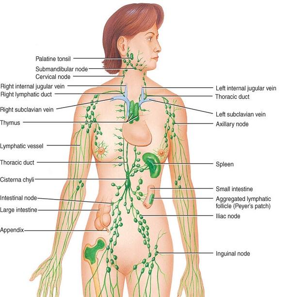 Hệ thống mạch bạch huyết (nguồn: internet)