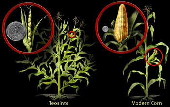 corn-and-teosinte_f